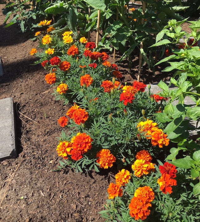 Lively marigolds brighten path in Chef's Garden