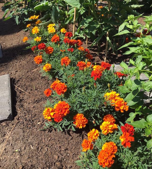 Lively marigolds brighten path in Chef's Garden