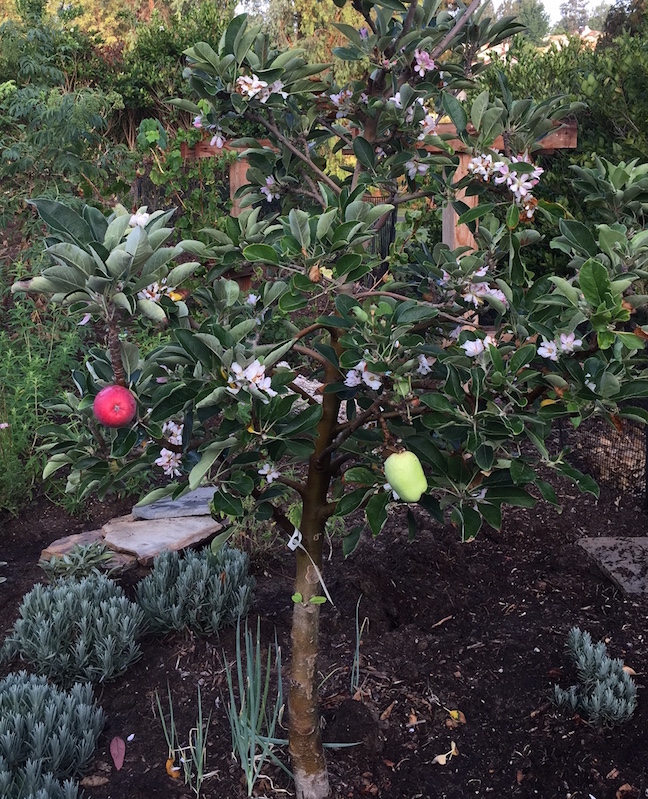Anna apple tree is full of flowers and ripening fruit