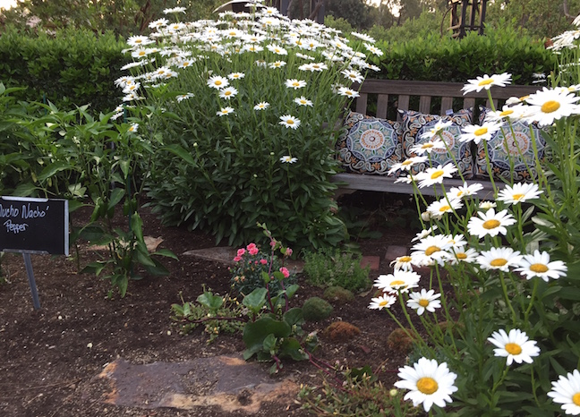 Daisies frame weathered bench in garden vignette