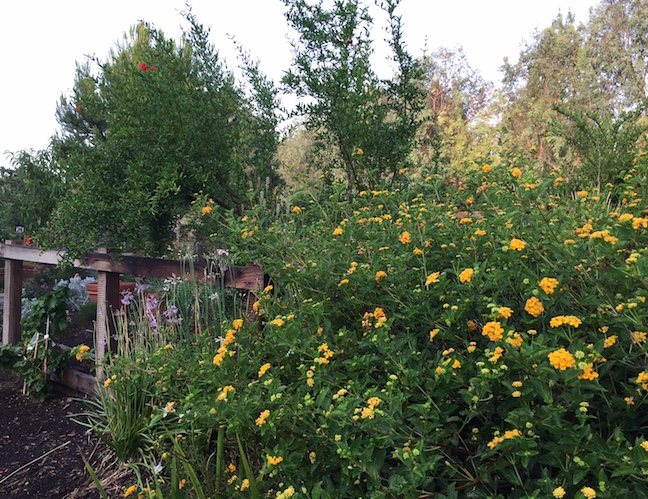A flurry of yellow flowers greets garden visitors