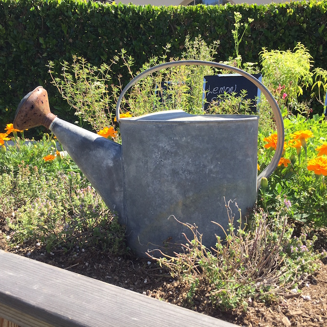 Old, tin watering can rests among flowers, herbs