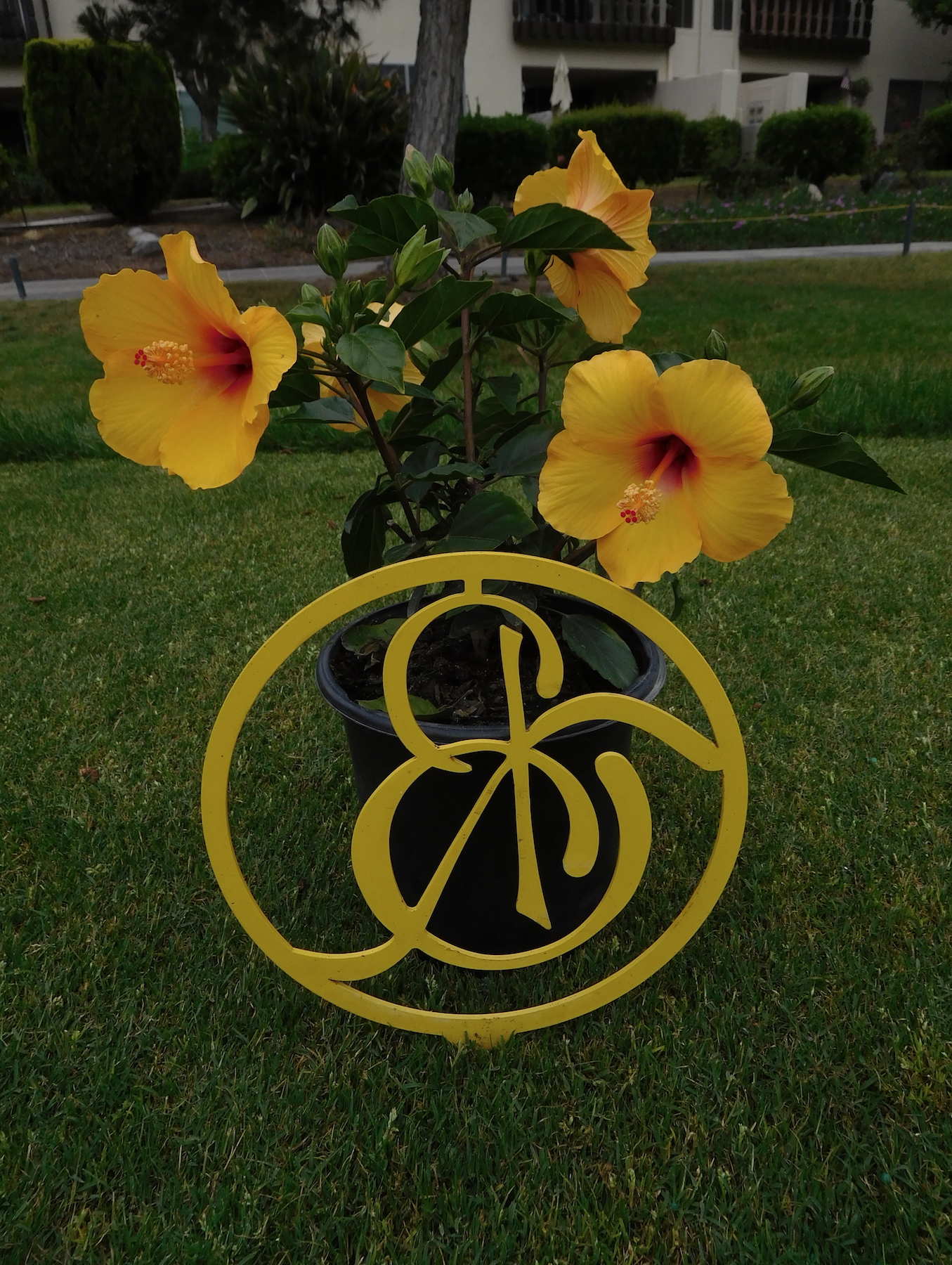 Yellow hibiscus brightens No. 10 tee box
